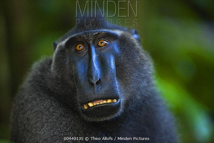 Celebes Black Macaque (Macaca nigra) dominant male, Sulawesi, Indonesia  -  Theo Allofs