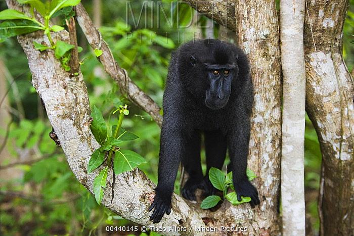 Celebes Black Macaque (Macaca nigra) dominant male in tree, Sulawesi, Indonesia  -  Theo Allofs