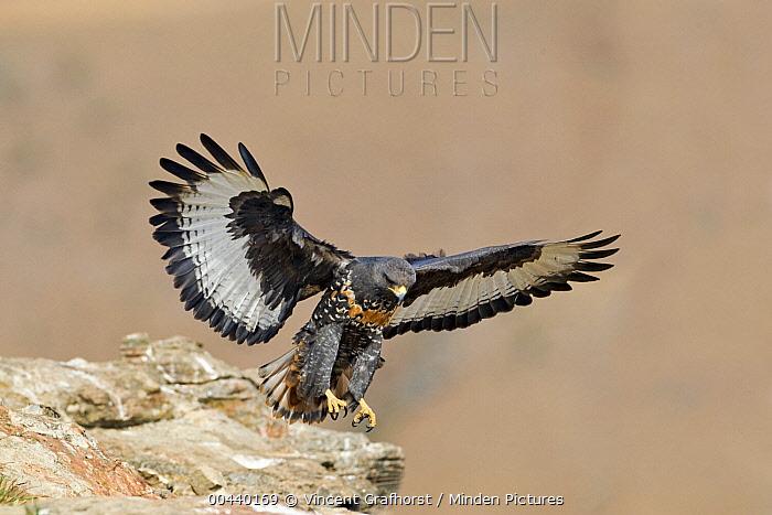 Augur Buzzard (Buteo rufofuscus) landing on a rock, Giant's Castle Nature Reserve, South Africa  -  Vincent Grafhorst