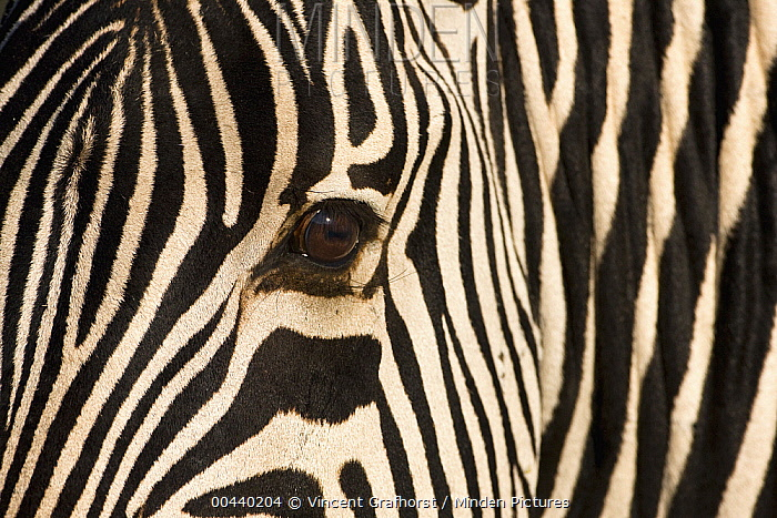 Zebra (Equus quagga) head showing striped hide, Khama Rhino Sanctuary, Botswana  -  Vincent Grafhorst