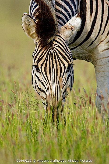 Zebra (Equus quagga) grazing, Khama Rhino Sanctuary, Botswana  -  Vincent Grafhorst