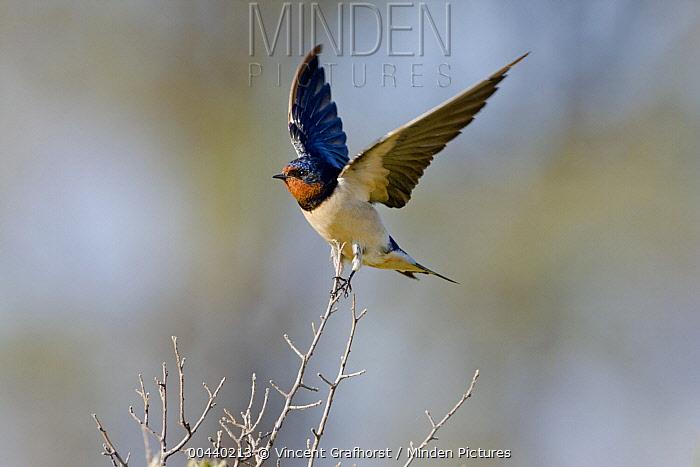 Barn Swallow (Hirundo rustica) balancing on twig with wings spread, Khama Rhino Sanctuary, Botswana  -  Vincent Grafhorst