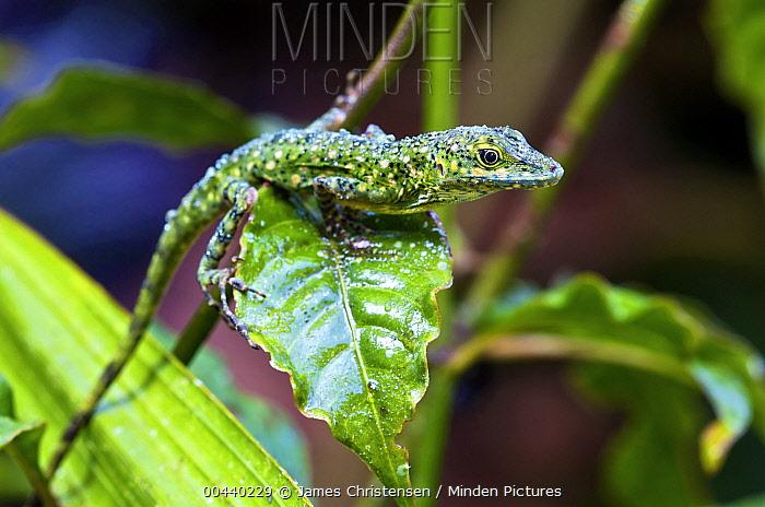O'Shaughnessy's Anole (Anolis gemmosus) male covered in rain drops, Mindo, Ecuador  -  James Christensen