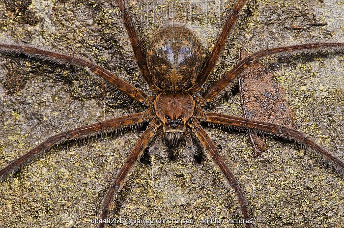 Fishing Spider (Dolomedes sp) female, Mindo, Ecuador  -  James Christensen