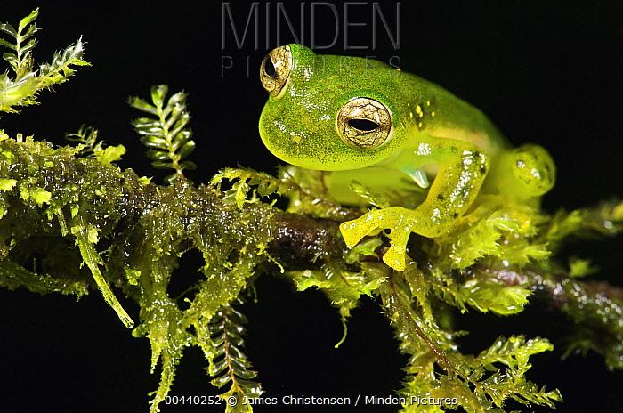 Emerald Glass Frog (Centrolene prosoblepon) male, Mindo, Ecuador  -  James Christensen