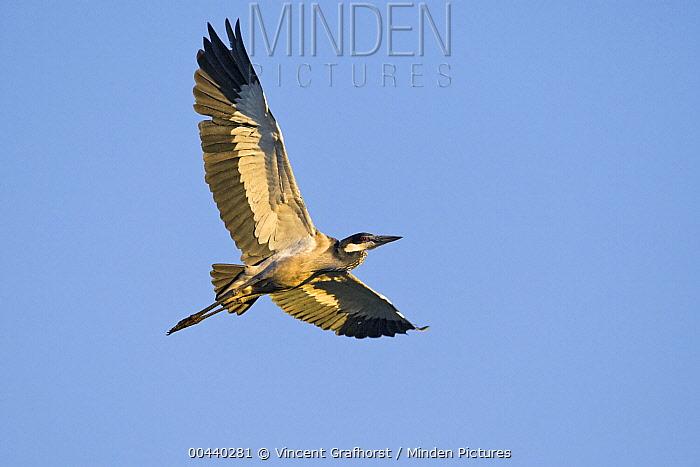 Black-headed Heron (Ardea melanocephala) flying, Gaborone Game Reserve, Botswana  -  Vincent Grafhorst