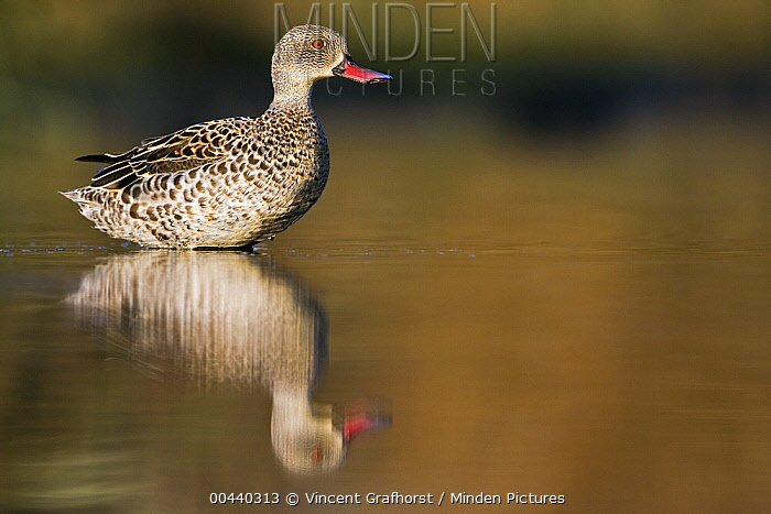 Cape Teal (Anas capensis) standing in shallow water, Gaborone Game Reserve, Botswana  -  Vincent Grafhorst