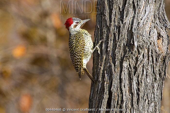 Bennett's Woodpecker (Campethera bennettii) female, Khama Rhino Sanctuary, Botswana  -  Vincent Grafhorst