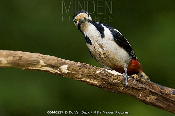 Great Spotted Woodpecker (Dendrocopos major), Hungary  -  Do van Dijk/ NiS