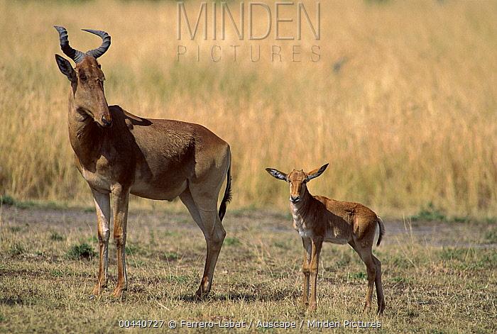 Common Hartebeest (Alcelaphus buselaphus) mother and calf, Masai Mara National Reserve, Kenya  -  Ferrero-Labat/ Auscape