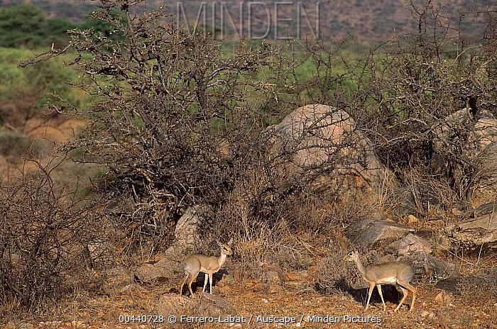 Kirk's Dik-dik (Madoqua kirkii) pair, Samburu National Reserve, Kenya  -  Ferrero-Labat/ Auscape
