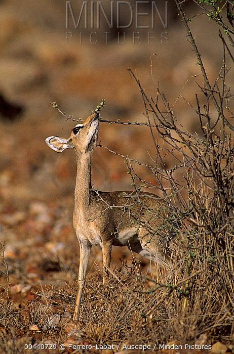 Kirk's Dik-dik (Madoqua kirkii) browsing, Samburu National Reserve, Kenya  -  Ferrero-Labat/ Auscape