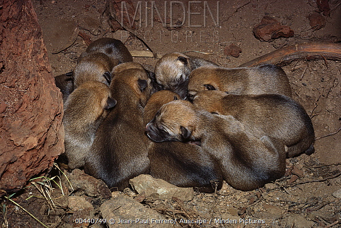 Dingo (Canis lupus dingo) two day old pups in den, southern New South Wales, Australia  -  Jean-Paul Ferrero/ Auscape