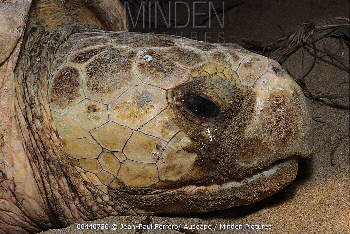 Loggerhead Sea Turtle (Caretta caretta) with extra salt secretion around eyes, Mon Repos Beach, Australia  -  Jean-Paul Ferrero/ Auscape