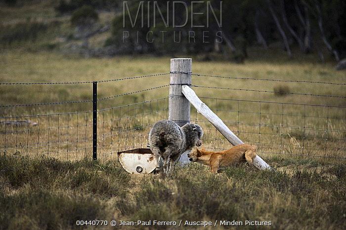 Dingo (Canis lupus dingo) attacking domestic sheep, southeastern Australia  -  Jean-Paul Ferrero/ Auscape