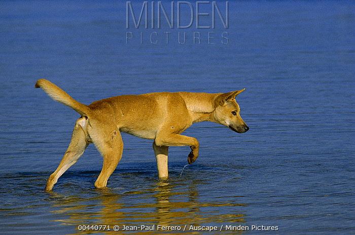 Dingo (Canis lupus dingo) wading, southern New South Wales, Australia  -  Jean-Paul Ferrero/ Auscape