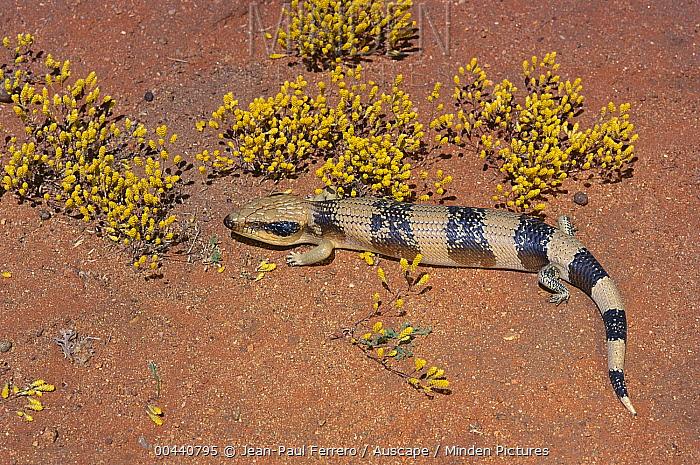 Western Blue-tongue Skink (Tiliqua occipitalis), western New South Wales, Australia  -  Jean-Paul Ferrero/ Auscape