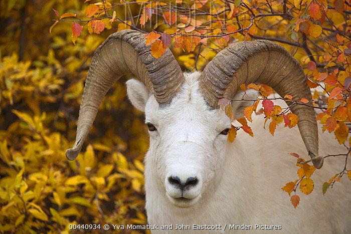 Dall's Sheep (Ovis dalli) ram, Denali National Park, Alaska  -  Yva Momatiuk & John Eastcott
