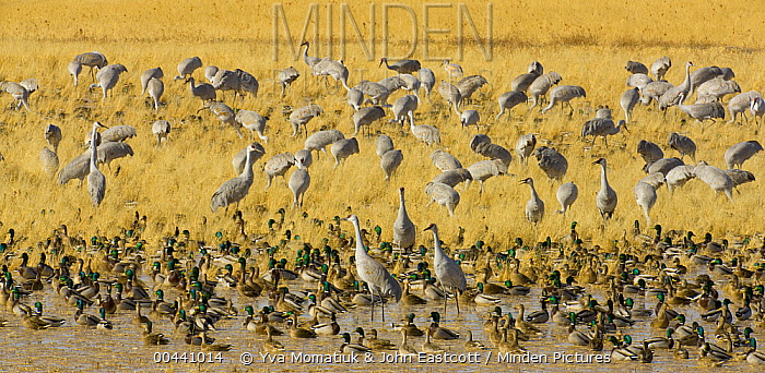 Sandhill Crane (Grus canadensis) and Mallard (Anas platyrhynchos) ducks feeding in wetland and grain field in managed habitat, Bosque del Apache National Wildlife Refuge, New Mexico  -  Yva Momatiuk & John Eastcott