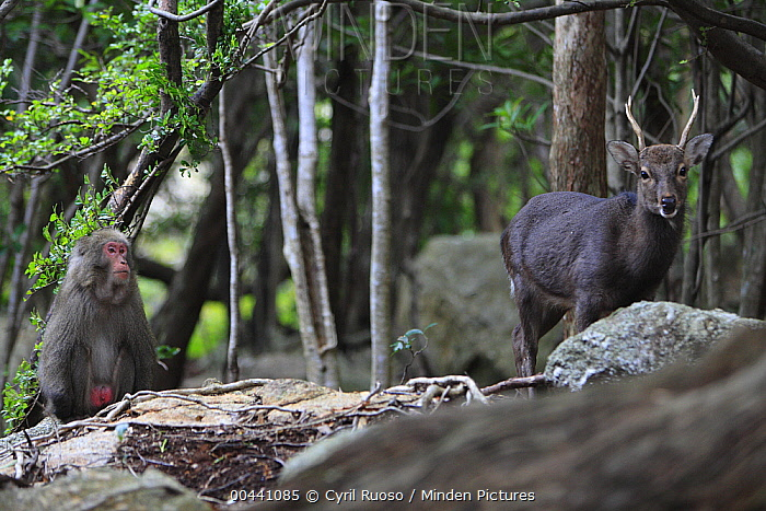Sika Deer (Cervus nippon) following Japanese Macaque (Macaca fuscata) in hopes of scavenging leftover fruit, Yakushima Island, Japan  -  Cyril Ruoso