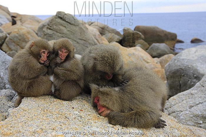 Japanese Macaque (Macaca fuscata) pair grooming, Yakushima Island, Japan  -  Cyril Ruoso