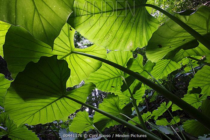 Taro (Alocasia odora) leaves, Yakushima Island, Japan  -  Cyril Ruoso