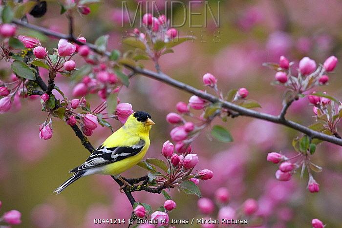 American Goldfinch (Carduelis tristis) in blooming tree, North America  -  Donald M. Jones