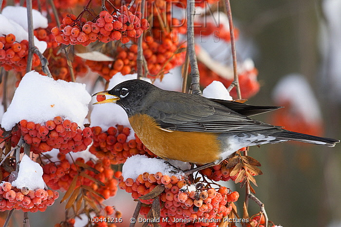 American Robin (Turdus migratorius) eating berries in the winter, northwest Montana  -  Donald M. Jones
