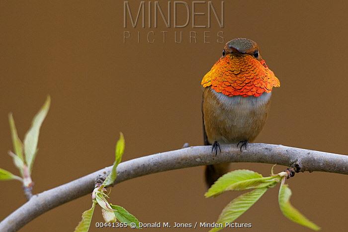 Rufous Hummingbird (Selasphorus rufus) male sitting on willow branch, Troy, Montana  -  Donald M. Jones