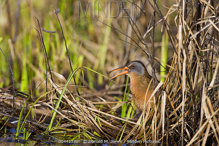Virginia Rail (Rallus limicola) calling, Troy, Montana  -  Donald M. Jones