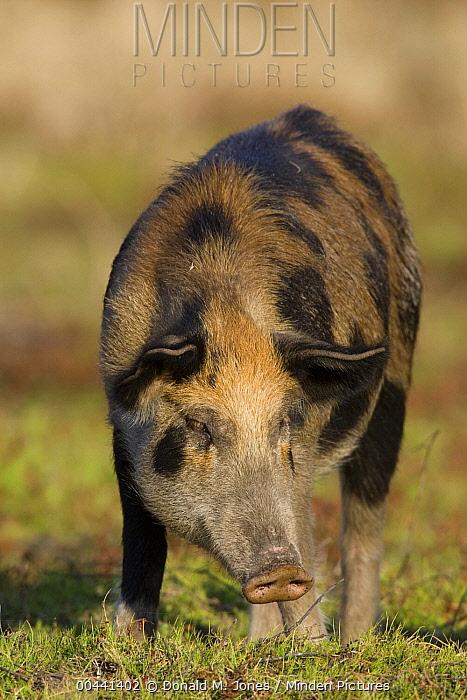 Wild Boar (Sus scrofa) sow, central Florida  -  Donald M. Jones