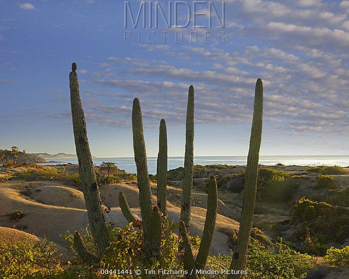 Organ Pipe Cactus (Stenocereus thurberi) overlooking Chelino Bay, Baja California, Mexico  -  Tim Fitzharris