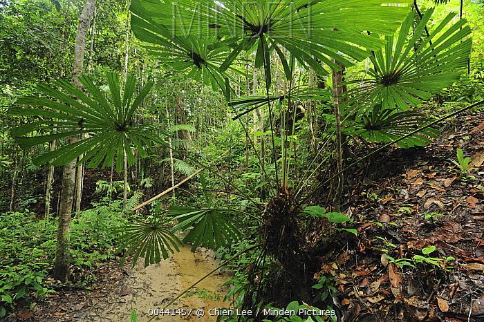 Fan Palm (Licuala valida) in the rainforest, Lambir Hills National Park, Borneo, Malaysia  -  Ch'ien Lee