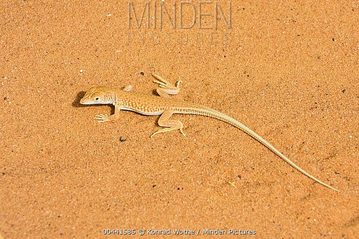 Wall Lizard (Mesalina sp) on sand, Libya  -  Konrad Wothe