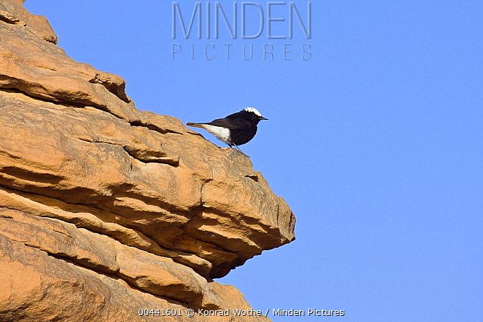 White-crowned Wheatear (Oenanthe leucopyga) on outlook, Libyan Desert, Libya  -  Konrad Wothe