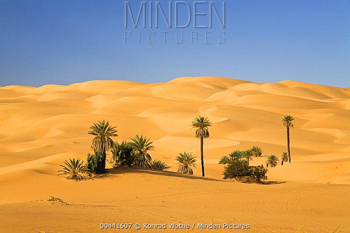 Date Palm (Phoenix sp) cluster at oasis, Umm-al-Maa, Libya  -  Konrad Wothe
