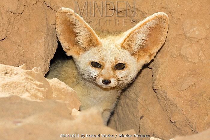 Fennec Fox (Vulpes zerda) looking out of den, Libya  -  Konrad Wothe