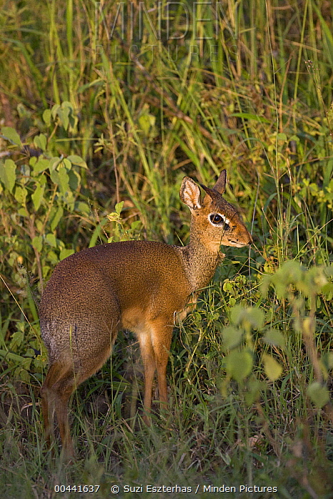 Kirk's Dik-dik (Madoqua kirkii), Serengeti National Park, Tanzania  -  Suzi Eszterhas