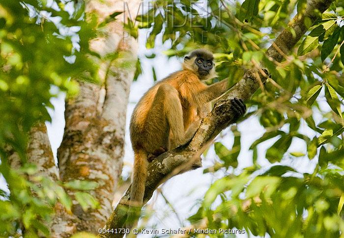 Capped Langur (Trachypithecus pileatus), Gibbon Wildlife Sanctuary, Assam, India  -  Kevin Schafer