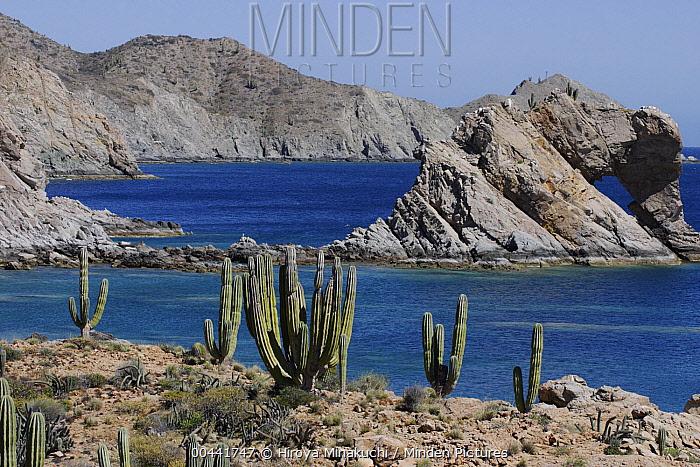 Cardon (Pachycereus pringlei) cacti, Santa Catalina Island, Sea of Cortez, Mexico  -  Hiroya Minakuchi