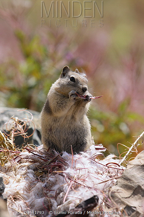Golden-mantled Ground Squirrel (Callospermophilus lateralis) eating fireweed seed, Glacier National Park, Montana  -  Sumio Harada