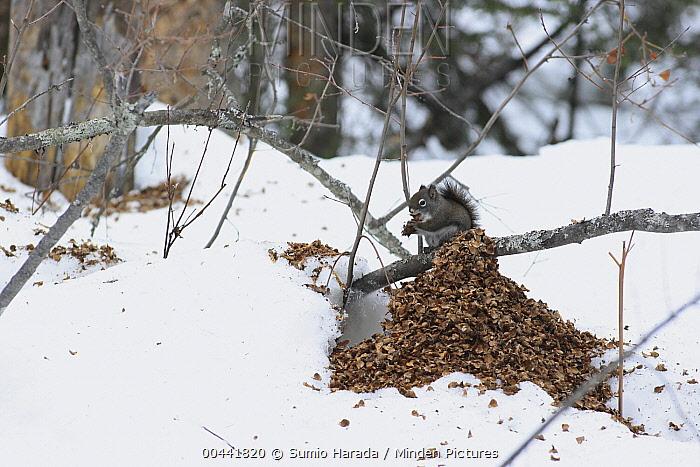 Red Squirrel (Tamiasciurus hudsonicus) feeding with cone remains close by, Montana  -  Sumio Harada