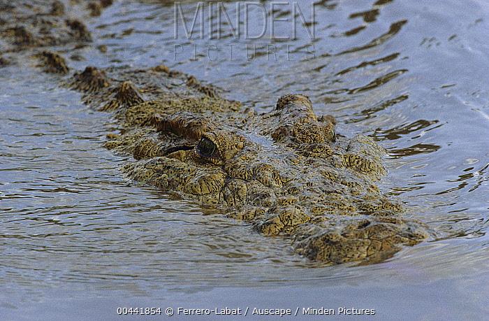 Nile Crocodile (Crocodylus niloticus) swimming, Masai Mara National Reserve, Kenya  -  Ferrero-Labat/ Auscape