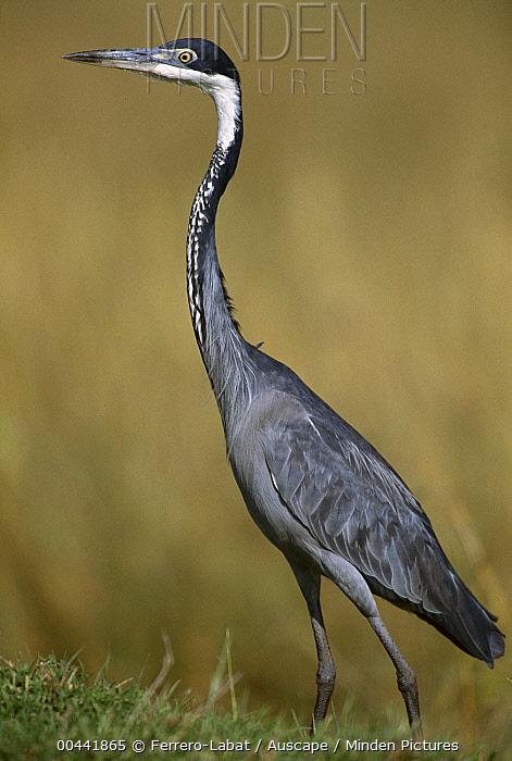 Black-headed Heron (Ardea melanocephala), east Africa  -  Ferrero-Labat/ Auscape