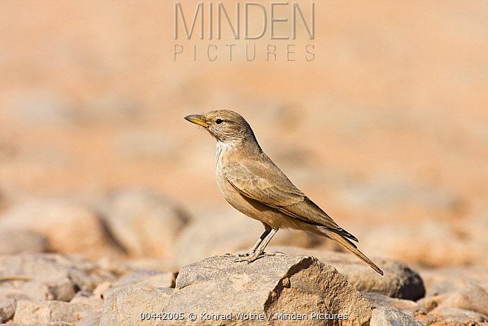 Desert Lark (Ammomanes deserti), Libya  -  Konrad Wothe
