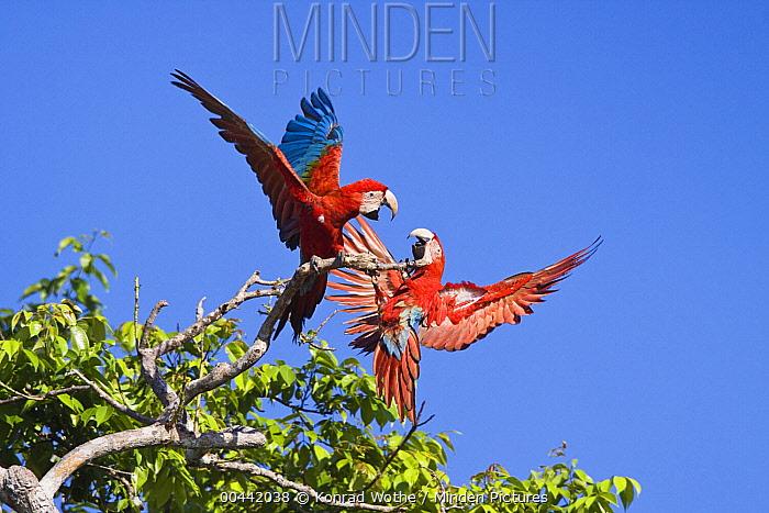 Red and Green Macaw (Ara chloroptera) pair fighting, Tambopata National Reserve, Peru  -  Konrad Wothe