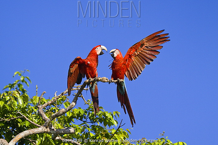 Red and Green Macaw (Ara chloroptera) pair fighting, Tambopata National Reserve, Peru  -  Konrad Wothe