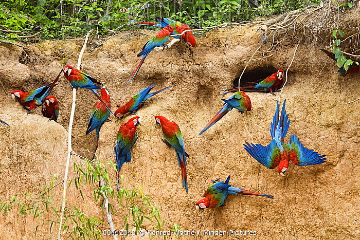 Red and Green Macaw (Ara chloroptera) flock at clay lick, Tambopata National Reserve, Peru  -  Konrad Wothe