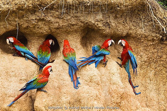 Red and Green Macaw (Ara chloroptera) flock at clay lick, Tambopata National Reserve, Peru  -  Konrad Wothe