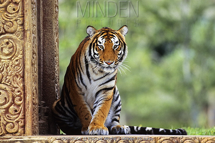 Bengal Tiger (Panthera tigris tigris), native to India  -  Konrad Wothe